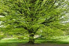 Hornbeam tree at spring. Fresh Hornbeam tree sprouting at spring Stock Photos