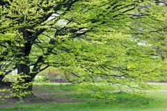 Hornbeam tree at spring. Fresh Hornbeam tree sprouting at spring Royalty Free Stock Images