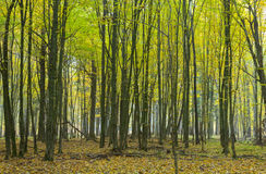 Hornbeam trees in fall Stock Photography