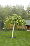 Hornbeam with weeping form of the crown. Hornbeam with a weeping form of the crown Royalty Free Stock Photo