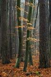 Hornbeambäume im Wald. Lizenzfreies Stockbild