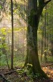 Hornbeambaum in einer weichen Leuchte Lizenzfreies Stockfoto