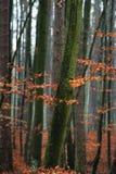 Hornbeambaum im Wald. Stockbild