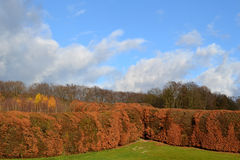 Hornbeams in the landscape. Stock Images