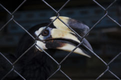 An hornbil. L was captured by a cage Stock Photo