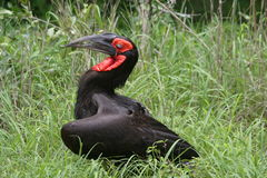 Hornbill à terra Imagens de Stock Royalty Free