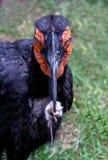 Hornbill à terra do sul, amores para comer roedores pequenos imagem de stock