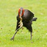 Hornbill à terra do sul (leadbeateri de Bucorvus) Foto de Stock Royalty Free