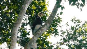 hornbill ασιατικός παρδαλός απόθεμα βίντεο