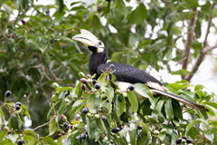 hornbill ασιατικός παρδαλός Στοκ Φωτογραφίες