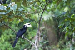 hornbill ασιατικός παρδαλός Στοκ φωτογραφία με δικαίωμα ελεύθερης χρήσης