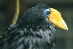 hornbill ζαρωμένος στοκ φωτογραφίες