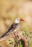 Hornbill που βρίσκεται αφρικανικό στη Νότια Αφρική στοκ εικόνες