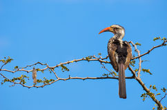 Hornbill στο δέντρο με τον ουρανό Στοκ εικόνα με δικαίωμα ελεύθερης χρήσης