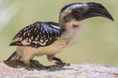 Hornbill του θηλυκού Τζάκσον - jacksoni Tockus στοκ εικόνες