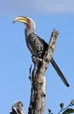 hornbill Ботсваны yellowbilled Стоковое Изображение