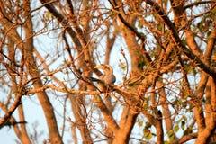 Hornbill Stock Afbeelding