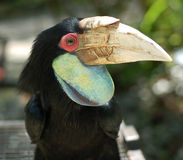 Hornbill. Found in Malaysia with big beak Stock Image