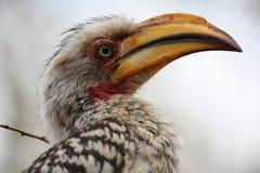 Hornbill photographie stock libre de droits