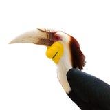 Hornbill Fotografia Stock Libera da Diritti