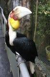 Hornbill Imagens de Stock Royalty Free