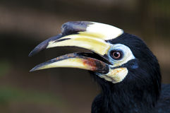 Hornbill Photographie stock
