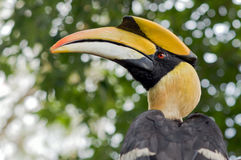 Hornbill. Royalty Free Stock Photography