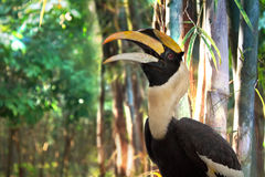 Hornbill. A horn-bill is a very rare bird and they're really hard to be found in natural environment Royalty Free Stock Images