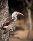Hornbill Imagens de Stock