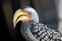 Hornbill Imagem de Stock