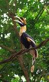Hornbill Fotos de Stock Royalty Free