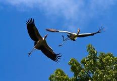 Hornbill Imagenes de archivo