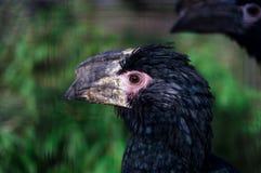 The hornbill Stock Images