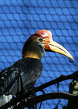 Hornbill. Red Knobbed Hornbill Perched In Tree With Pattern Background Stock Photography