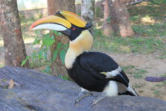 The hornbill Stock Photos