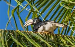 Hornbill Foto de Stock Royalty Free