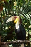 Hornbill Foto de archivo libre de regalías