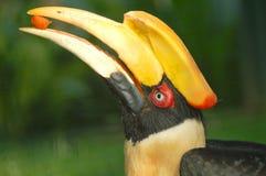 Hornbill Immagine Stock