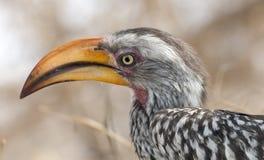 Free Hornbill Stock Photo - 36773600