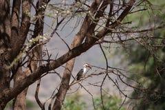 Hornbill Stockfotografie