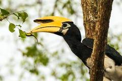 Hornbill Lizenzfreies Stockfoto