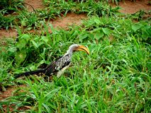 Hornbill Arkivbilder