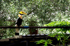 Hornbill Fotografering för Bildbyråer