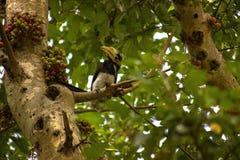 Hornbill Stockfoto