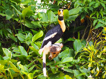 Hornbill stockbilder