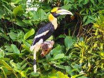Hornbill stockfotos