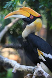 Hornbill Fotos de Stock