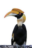 Hornbill Royalty-vrije Stock Afbeelding