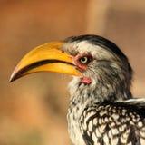 Hornbill royaltyfri bild