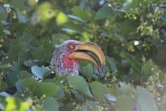 Hornbill Foto de archivo